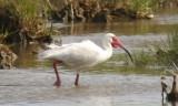 White Ibis, alternate (#2 of 2)