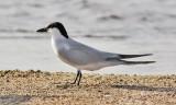 Gull-billed Tern, alternate (#1 of 3)