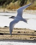 Gull-billed Tern, alternate (#2 of 3)