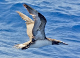 Northern Gannet, 1st cycle