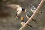 Swallows, Martins & Swifts