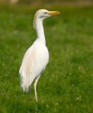 cattle_egrets