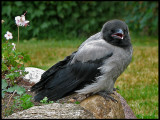 Crows, Magpies and Jays