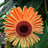 Orangie flower