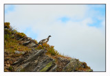 The mountain hike 10 (a grouse we met)