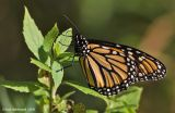 Monarch08c.jpg
