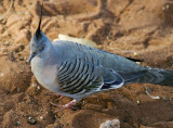 Crested Pigeon, Kings Canyon