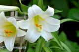 Focus on Right Lily - APO Super Macro - Small