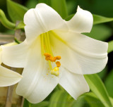 Close-up of right lily - APO DG Macro - smaller version