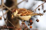 Passer italiae(italian sparrow--passero d'Italia)