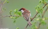 Passer italiae (italian sparrow--passero dItalia)