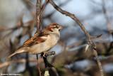 Passer italiae (italian sparrow--passero d'Italia)