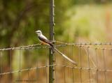 scissortailed flycatcher on wire