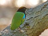 Rainbow Pitta