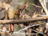 Cardinal Rouge Femelle - Female Northern Cardinal