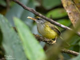 Mountain Tailorbird  Scientific name - Orthotomus cuculatus philippinus (endemic race)   Habitat - Understory of montane forest and edge.   [Elev. 1580 m ASL, MT. POLIS, BANAUE, IFUGAO, 40D + 500 f4 IS + Canon 1.4x TC, bean bag]