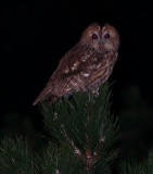 Owl on Castle Hill