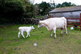 Rathbaun Farm Mom with 4 day old Calf