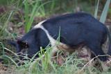 Black n White Wild Boar