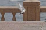Bird 113 - Pigeon at beach.jpg