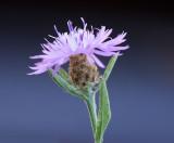 Meadow knapweed  Centaurea debeauxii (syn. C. pratensis)