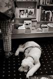 Buchhund