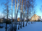 EARLY SPRING BIRCHES