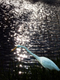 Egret And Reflections