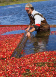 cranberry_harvesting