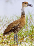 Whistling West Indian Whistling-Duck (Dendrocygna arborea) 1