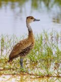 West Indian Whistling-Duck (Dendrocygna arborea) 3