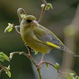 Male Greenfinch (Carduelis chloris) 2