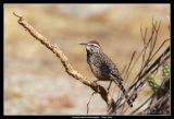 Cactus Wren, Anza Borrego Desert