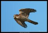 Sparrow Hawk, Falsterbo