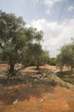 Pioc salvatge a les terres de l'ebre