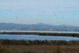 Patos y anades en la laguna de la Albufera - Anecs i Ànedes a l'Albufera de València - Ducks and Pochards in Albufera Valencia