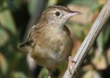 Zitting Cisticola - Fain-tailed Warbler - Cisticola juncidis - Buitrón - Trist