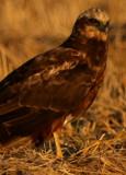 Marsh Harrier - Circus aeroginosus - Aguilucho lagunero - Arpella