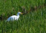 Cattle Egret - Bubulcus ibis - Garcilla bueyera - Esplugabous