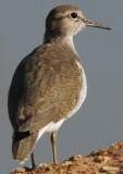 Common Sandpiper - Tringa hipoleucos or Actitis hipoleucos - Andarríos chico - Xivitona - Territitona