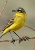 Yellow Wagtail - Motacilla flava - Cuereta groga - Lavandera Boyera
