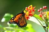 Monarch or Milkweed - Danaus plexipus - Mariposa Monarca - Papallona Monarca