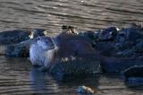 Otter - Lutra lutra - Nutria - Llúdriga