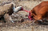 Griffon Vulture eating and alive cow - Buitre comiendose una vaca enferma - Voltor menjant un vaca malalta