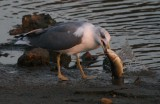 Yellow-legged Gull eating a Grey Mullet - Larus michahellis - Gaviota patiamarilla - Gavià de potes-grogues menjant  una llisa