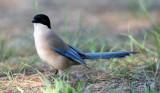 Azure wiged magpie - Cyanopica cyana - Rabilargo - Garsa blava - Pie Bleue