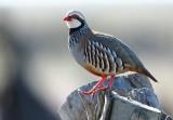 Red-legged Patridge - Alectoris rufa - Perdiz común - Perdiu roja