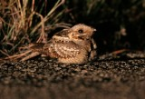 Red-necked nightjar - Caprimulgus ruficollis - Chotacabras pardo - Siboc