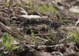 Spanish hare - Leppus granatensis - Liebre ibérica - Llebre