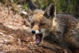 Red Fox - Vulpes vulpes  - Zorro - Guineu